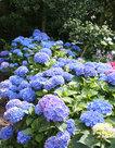 Hortensia-blauw