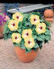 Hibiscus-geel