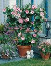 Dipladenia-roze