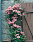 Clematis-roze