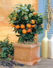 Citrus-Calamondin