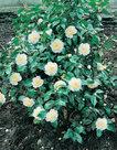Camellia-wit