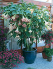Brugmansia-roze