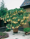 Brugmansia-geel