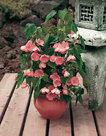 Abutilon-roze