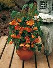 Abutilon-oranje