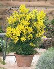 Acacia-Dealbata-(Mimosa)
