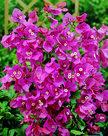 Bougainvillea-roze