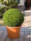 Buxus-Sempervirens-(Bol-dia.-50cm)