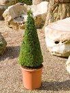 Buxus-Sempervirens-(Pyramide-90cm)