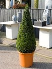 Buxus-Sempervirens-(Pyramide-160cm)