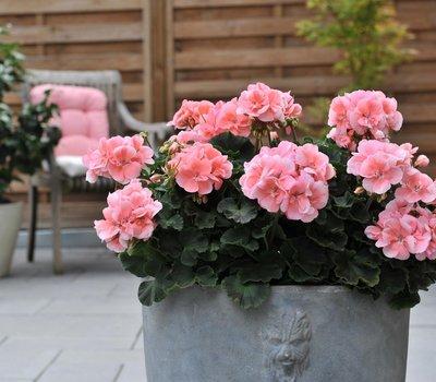 Geranium staand roze