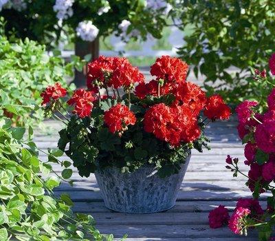 Geranium staand rood
