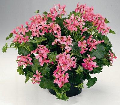 Hanggeranium enkelbloemig roze