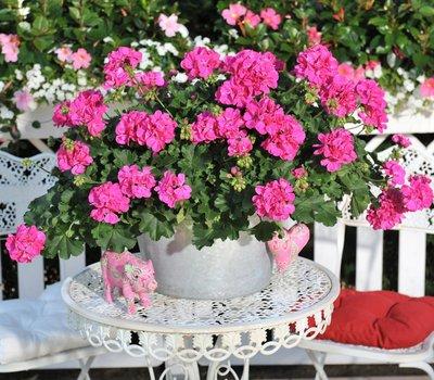 Hanggeranium dubbelbloemig roze