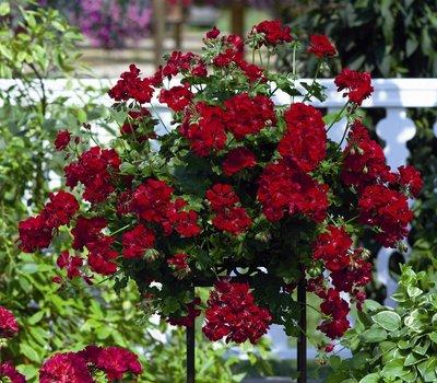 Hanggeranium dubbelbloemig rood