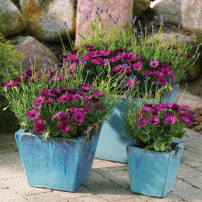 Spaanse Margriet violet