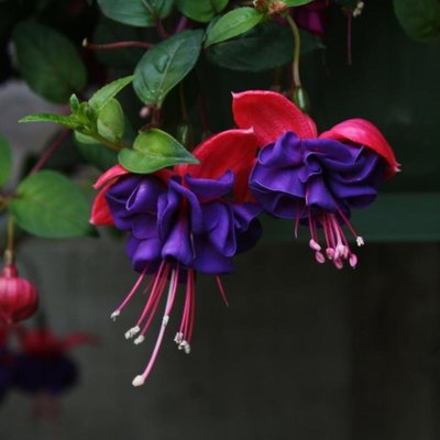 Fuchsia Dark Eyes
