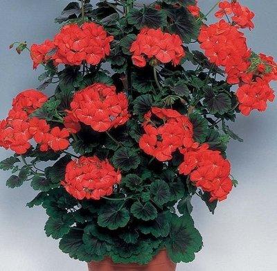 Geranium Antik rood