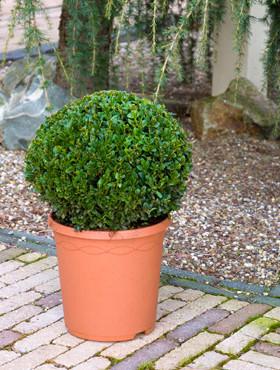 Buxus Sempervirens (Bol. dia. 30cm)