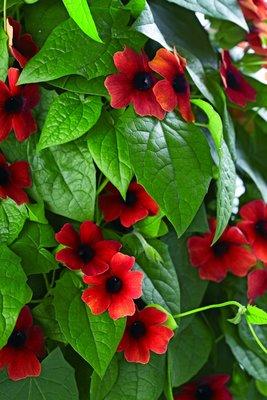 Thunbergia alata rood 'Suzanne-met-de-mooie-ogen'
