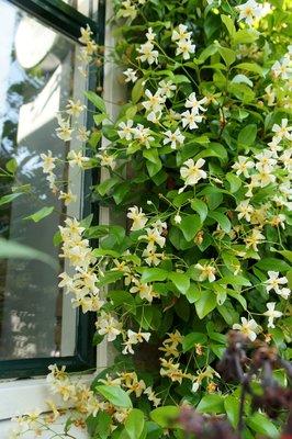 Trachelospermum geel 'Toscaanse jasmijn'