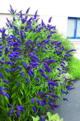 Buddleja davidii blauw 'Vlinderstruik'