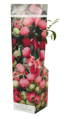 Vaccinium 'Pink Lemonade' (roze bosbes)