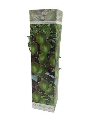 Citrus aurantifolia Limoen