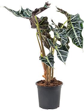 Alocasia amazonica 55 cm