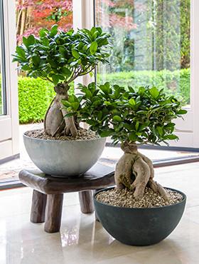 Ficus Ginseng Bonsai in Luxe Fiona bowl pot