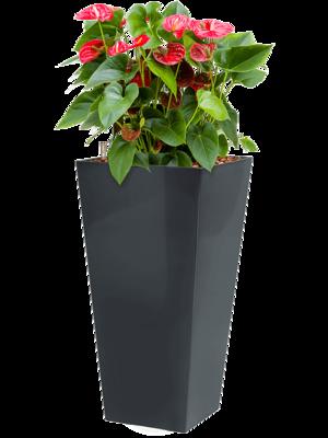 Anthurium sierra incl pot Style Square antraciet