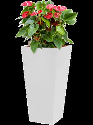 Anthurium sierra incl pot Style Square wit
