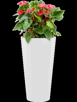 Anthurium sierra incl pot Style wit