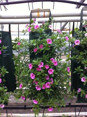 Mini Petunia - Calibrachoa Pink