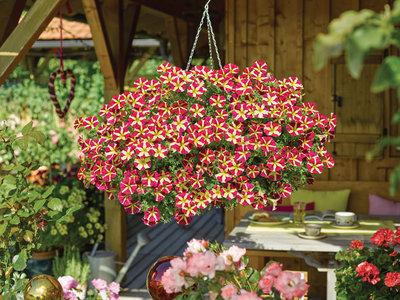 Hangpetunia geel - rood