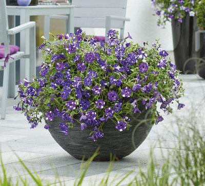 Petunia blauw - wit