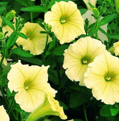 Petunia geel