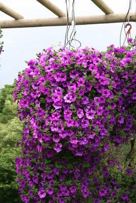 Petunia blauw - paars