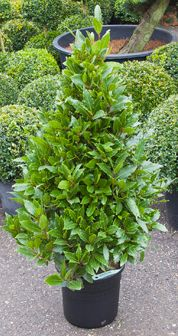 Laurus Nobilis Pyramide (Laurier) tuinplant