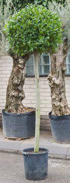 Laurus Nobilis Bol (Laurier) op stam tuinplant