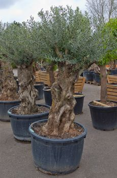 Olijfboom Bonsai (220 cm hoog)