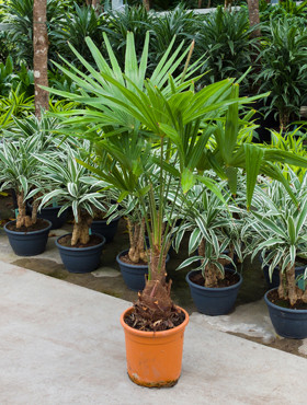 Trachycarpus Fortunei palm 160cm