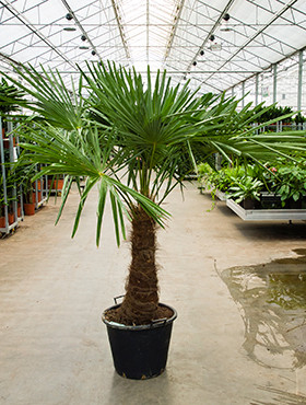 Trachycarpus Fortunei 210 cm
