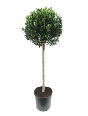 Olijfboom Bol op stam tuinplant