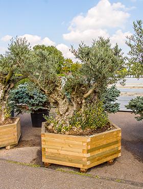 Olijfboom Bonsai op stam (in houten plantenbak)
