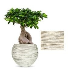 Ficus Bonsai in Capi Nature vaas bol Rib ivoor