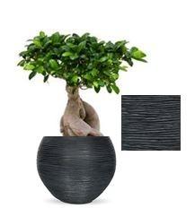 Ficus Bonsai in Capi Nature vaas bol Rib zwart