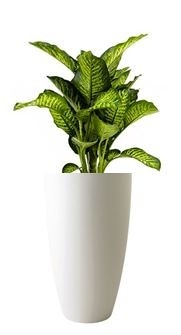 Dieffenbachia Maroba in Pure Soft Round High mat wit