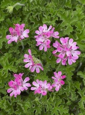 Pelargonium Conclor Lace (Citroengeranium)